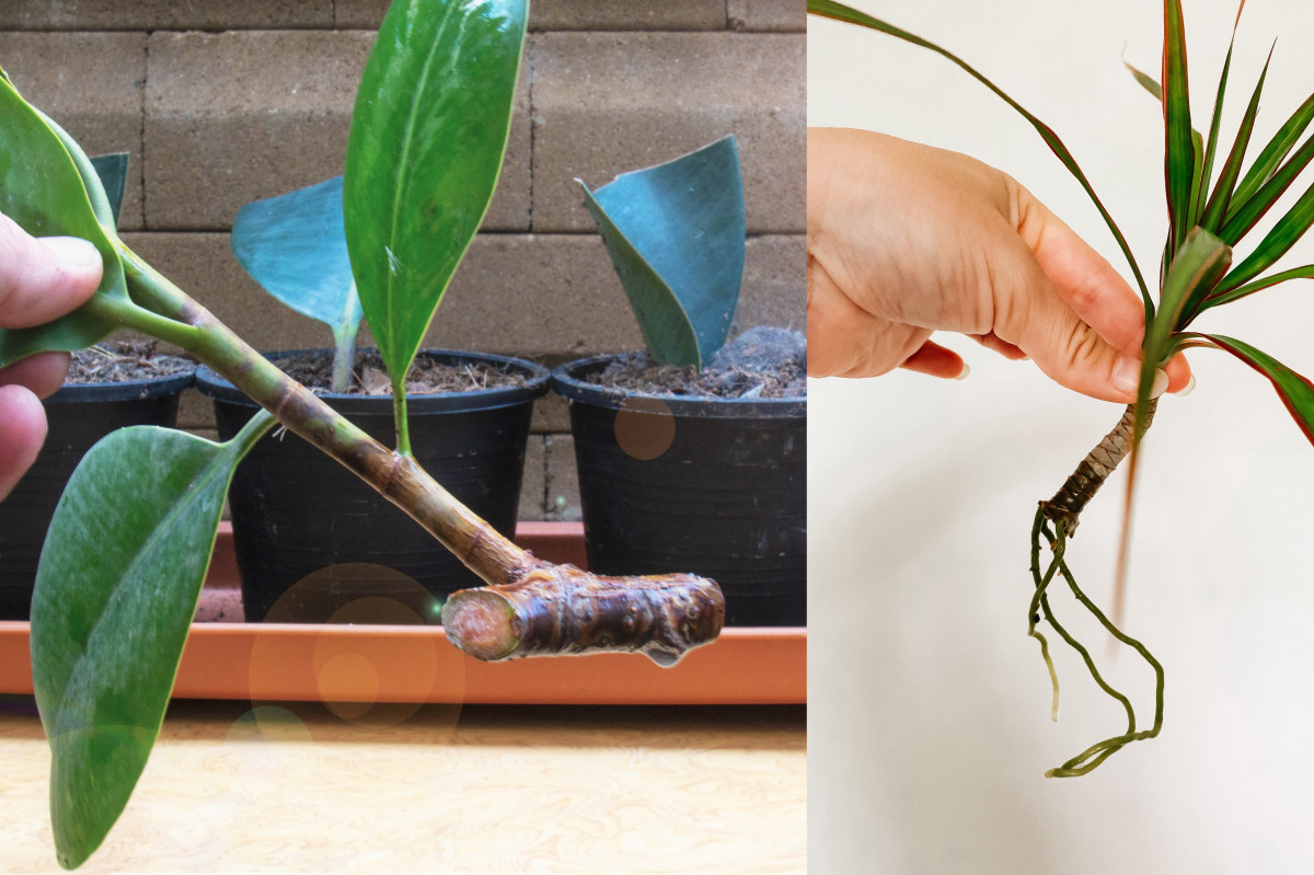 a ficus cutting with a section of woody stem and a photo of a rooted dracaena cutting