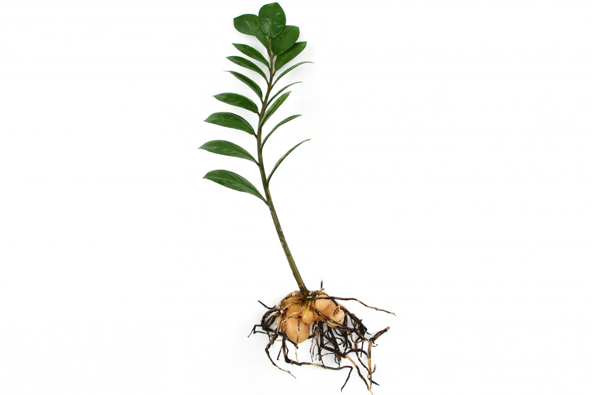 a photo of a zz plant stem attached to a rhizome