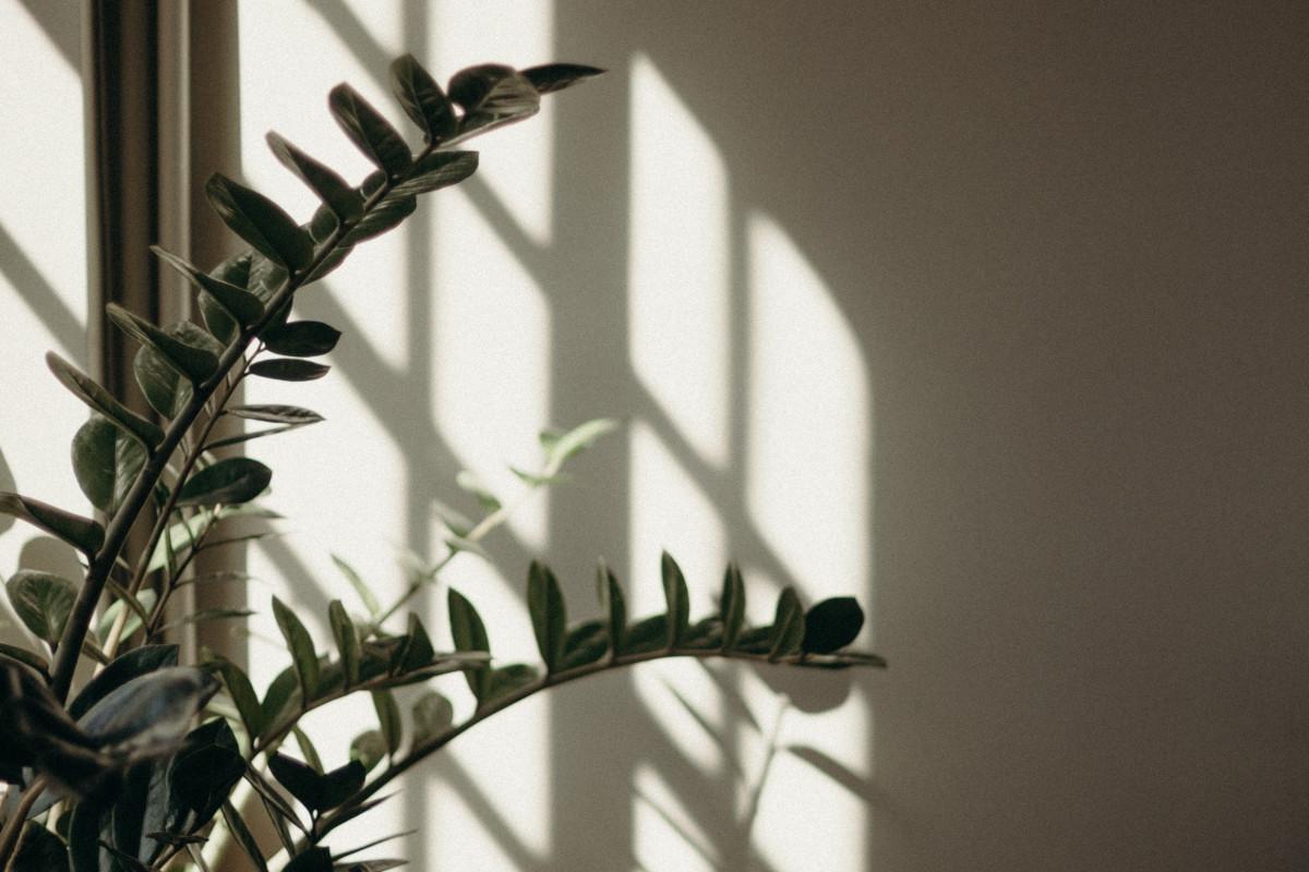 a ZZ plant near a shaded window