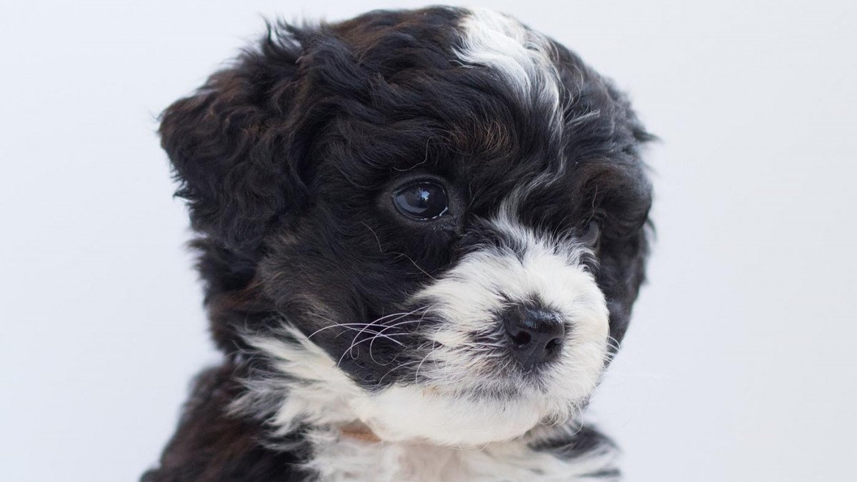 Bernedoodle pup