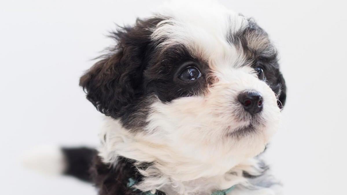 Bernedoodle puppies