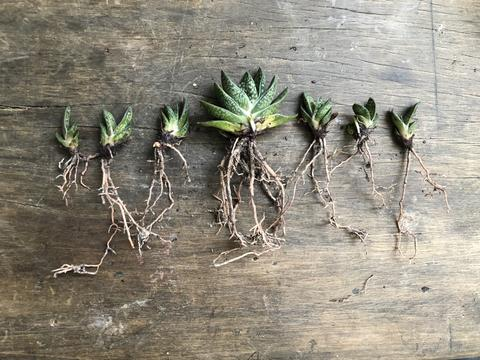 Rooted succulents