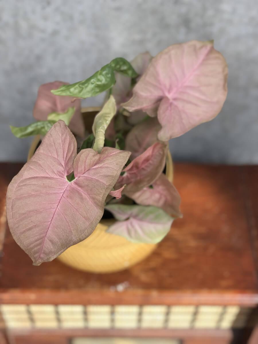 Pink Allusion Snygonium