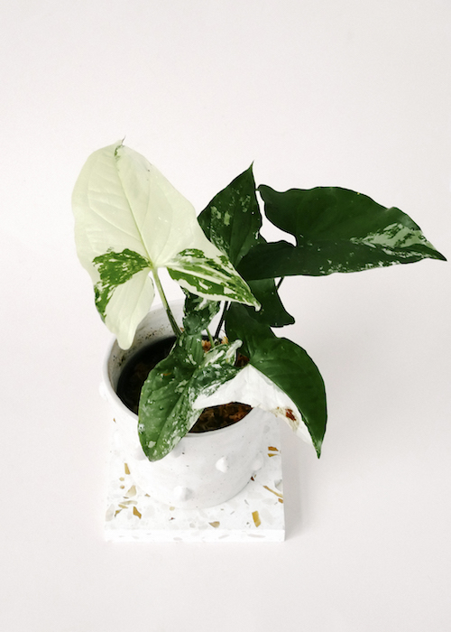 Reasons why you should get a Syngonium