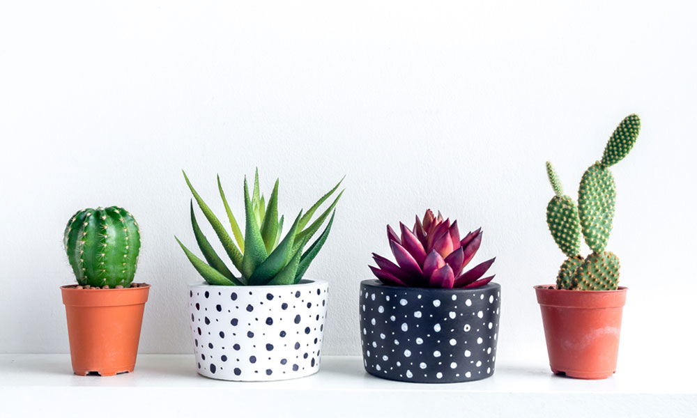Things you didn't know about indoor cactus plants (Cacti)