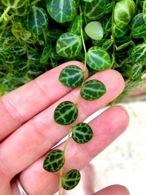 How to Care for String of Turtles Plants