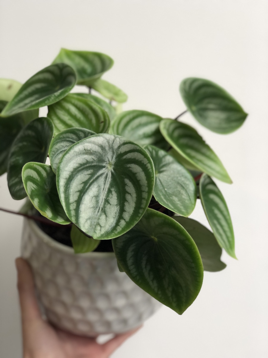 Keeping your Peperomia Happy and Healthy
