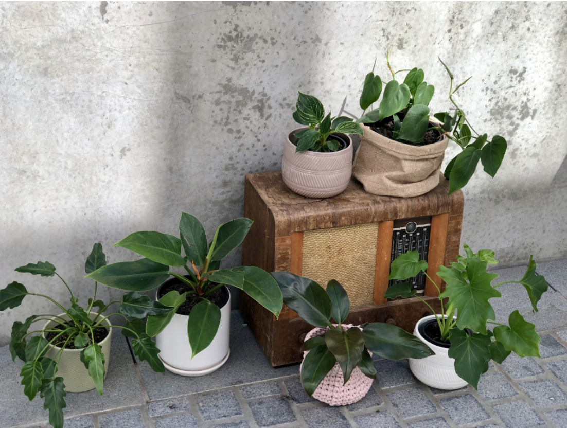 Our Top 5 Philodendrons By Plant Collective
