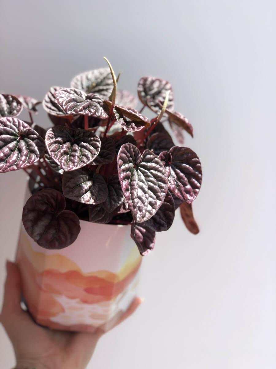 purple peperomia