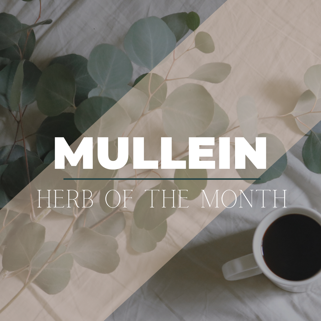 Herb of the Month: Mullein, Best Cough Remedy
