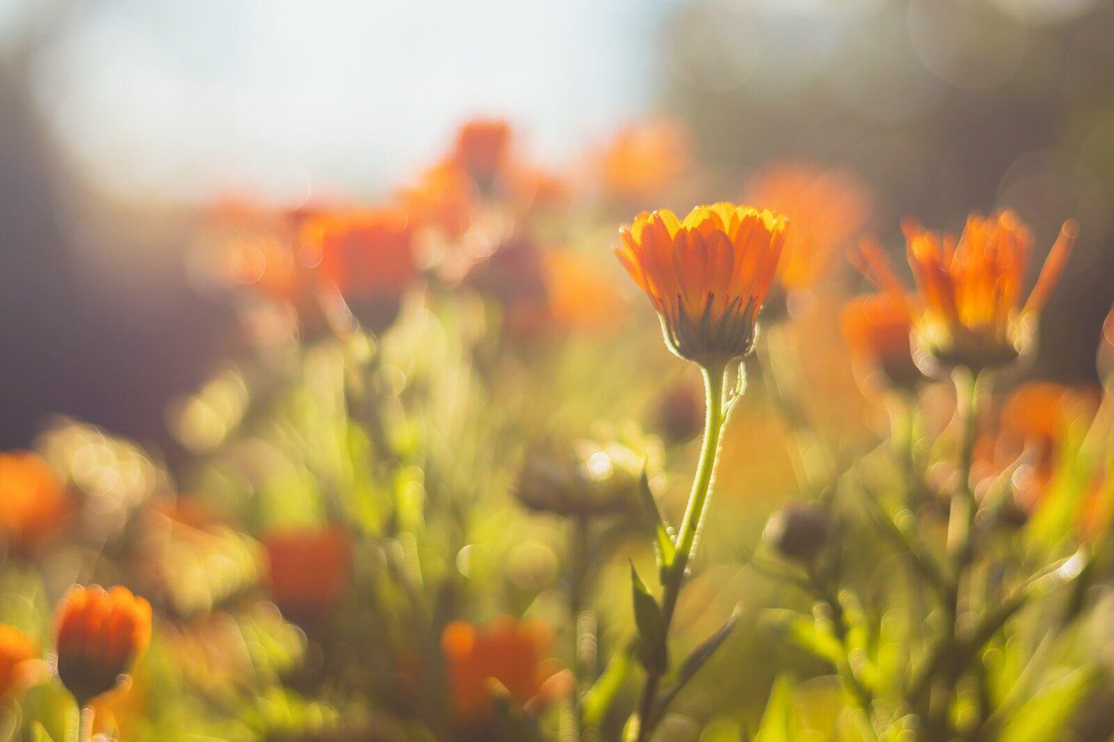 Calendula Skin Benefits | Why Do We Use It in All Formulas