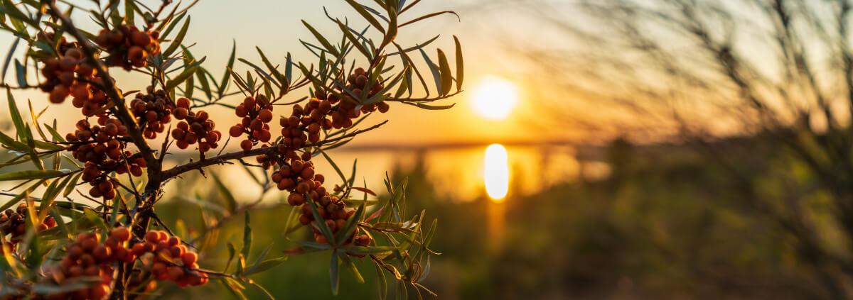 Skin Benefits of Sea Buckthorn Oil| Botanical Skin Care
