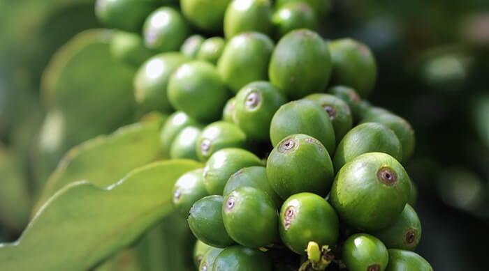 Green Coffee: What It Is, Taste, Health Benefits & Risks