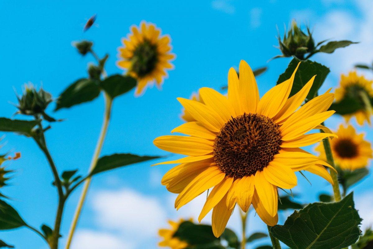 What is Sunflower Lecithin?  Is it good for you? What are the benefits?