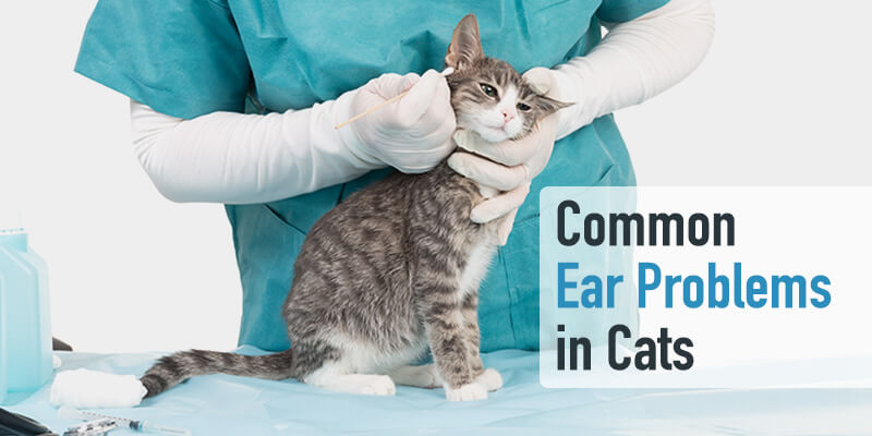 Common Ear Problems in Cats (and how to prevent them)